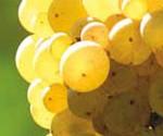 Bordeaux grapes