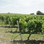 DSC00585_VN Vineyards
